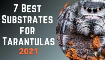 Best Tarantula Substrate – 7 Best Substrate for Tarantulas