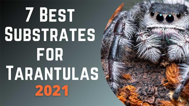 Best Tarantula Substrate