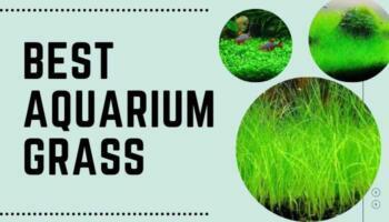 Best Aquarium Grass – Aquarium Grass Plant