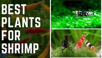Best Plants for Shrimp – Best Plants for Shrimp Tank
