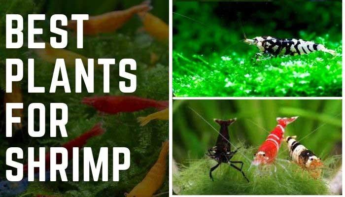 Best Plants for Shrimp